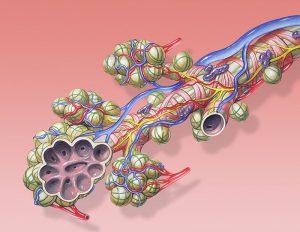 a tüdő szerkezete